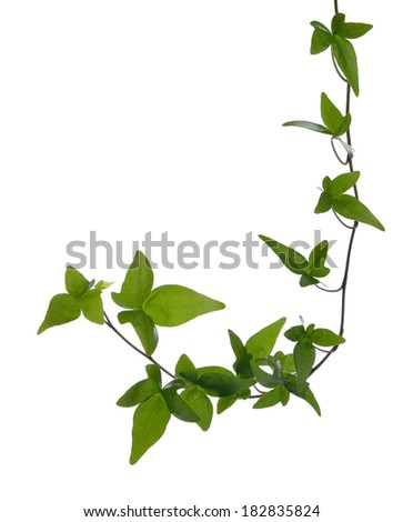 Green ivy (Hedera) stem isolated on white background. Creeper Ivy stem with young green leaves. - stock photo