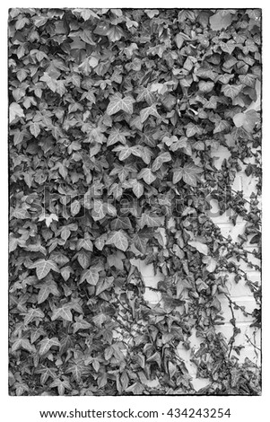 Green ivy Hedera with glossy leaves and white veins on the wall. Black and white photo with a Vintage border - stock photo