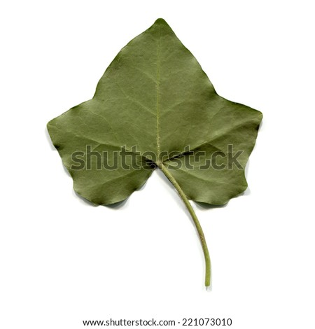 Green ivy leaf isolated over white background - stock photo