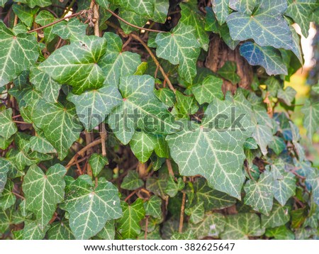 Green ivy leaves useful as a background