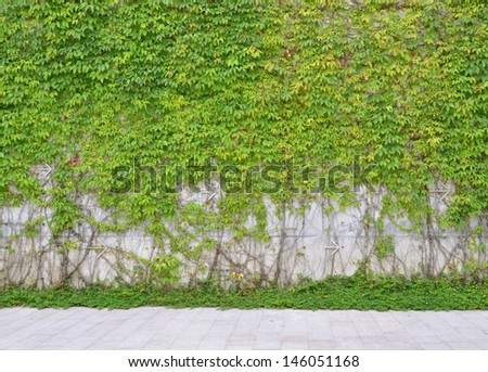 Green Ivy leaves wall for background  - stock photo