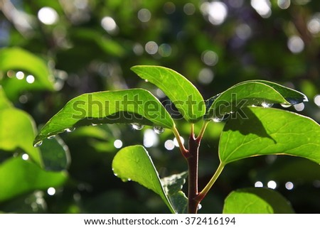 Green ivy leaves with water drops after rain - stock photo