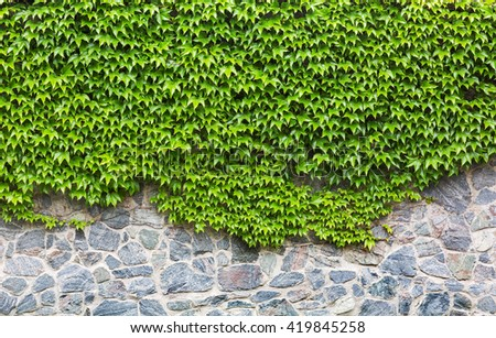 green ivy on brick wall - stock photo