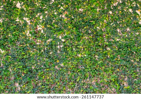 Green ivy on the wall for background and texture