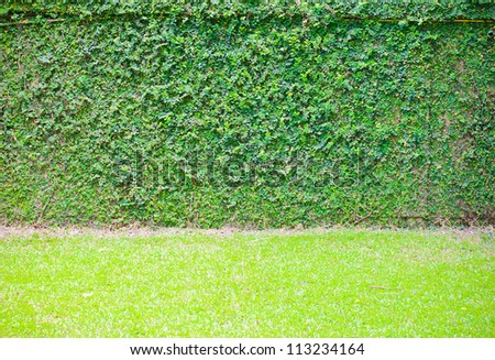 Green ivy on wall with grass - stock photo