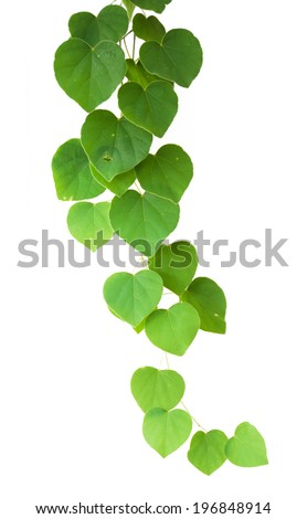 Green ivy plant  - stock photo