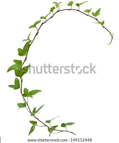 Green ivy plant c close up isolated on white background  - stock photo
