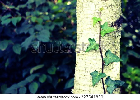 Green ivy plant close up - stock photo
