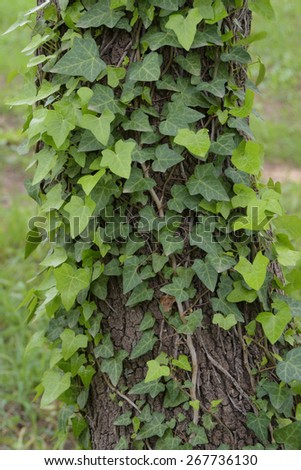 Green ivy plant creeping on tree trunk. Nature background. - stock photo