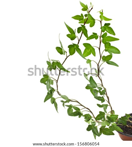 Green ivy plant ( Hedera Helix) close up in flower pot isolated on white background  - stock photo