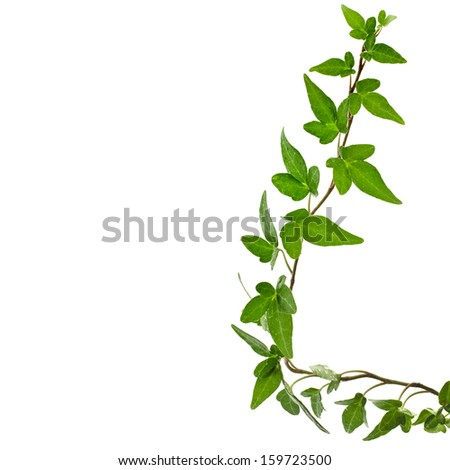 Green ivy plant ( Hedera Helix ) close up isolated on white background  - stock photo