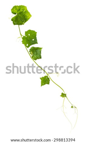 Green ivy plant isolated on white background with clipping path. - stock photo