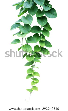Green ivy plant, nature vine leaves - stock photo