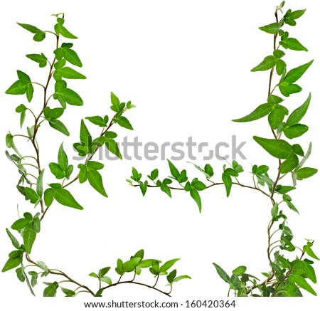 Green ivy plant set close up isolated on white background  - stock photo