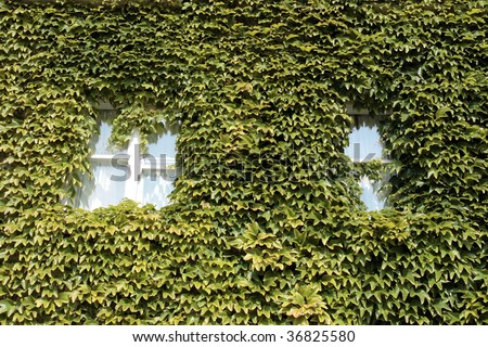 green ivy surrounding the windows on the walls of a building - stock photo