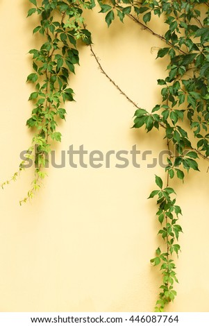 Green ivy vine leaves on the yellow wall of building - stock photo