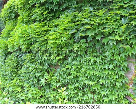 Green Ivy wall. - stock photo