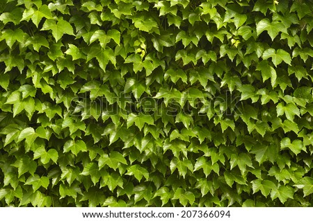 green Ivy Wall texture - stock photo