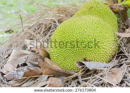green jackfruit on straw and dry leaves, fruit background, soft focus