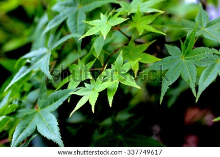 Green Japanese Maple Leaves