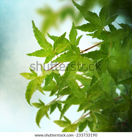 Green  japanese maple leaves background