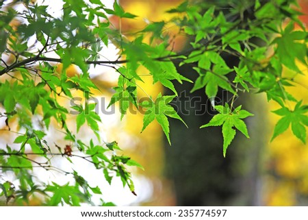 Green Japanese maple leaves in autumn