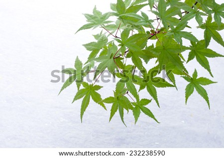 green japanese maple on the japanese paper - stock photo