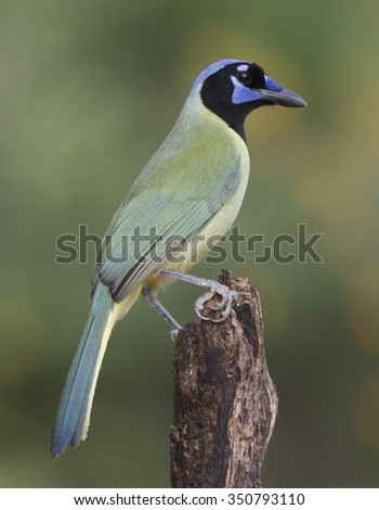 Green Jay in the Rio Grande Valley, Texas