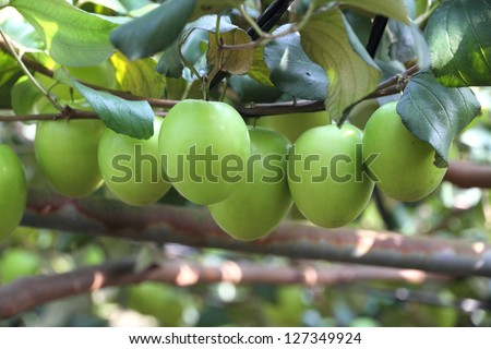 Green jujube fruit - stock photo