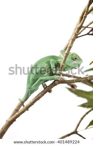 Green Juvenile Veil Chameleon lizard isolated on white back ground