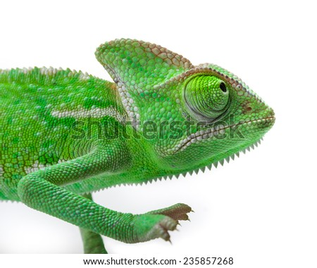 Green Juvenile Veil Chameleon lizard isolated on white back ground - Closeup - stock photo