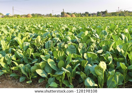 Green kale in field,Thailand. - stock photo