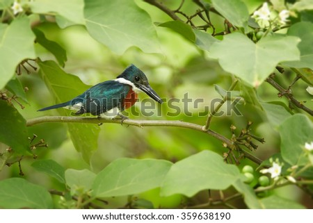 Green Kingfisher Chloroceryle americana, male, looking for fish perched on branch, green leaves forest background. Green back, white collar, bright rufous breast,close up photo. Rear, side view.