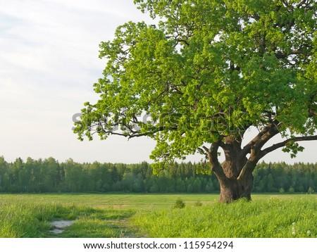 Green krone of a sprawling old single oak on a meadow in the summer. - stock photo