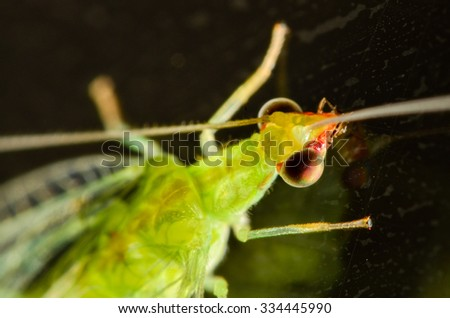 Green lacewing (Chrysoperla rufilabris) adult with black background