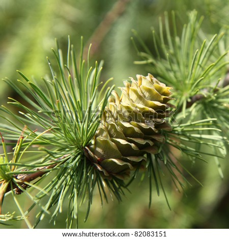 Green larch cone - stock photo