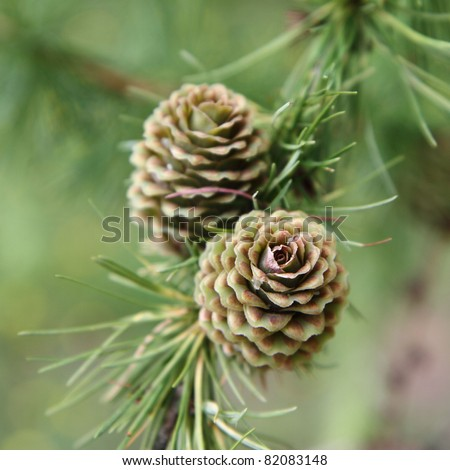 Green larch cones - stock photo