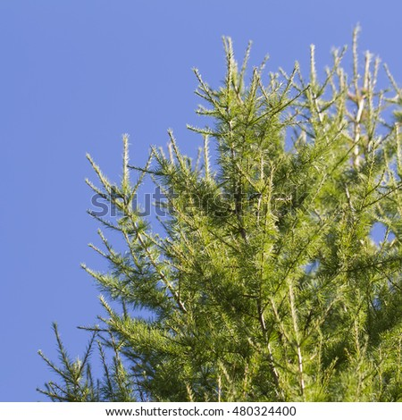 green larch on a background of blue sky coniferous festive background
