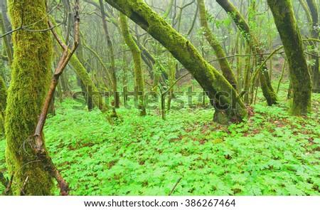 Green Laurel forest within Garajonay National Park, La Gomera, Spain - stock photo