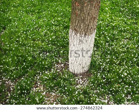 green lawn strewn with white petals of spring flowers apple trees - stock photo