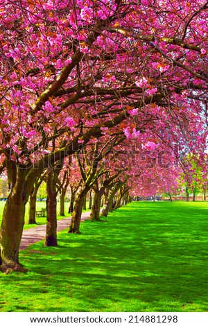 Green lawn with blossoming plum trees at Meadows park, Edinburgh. Colorful spring landscape - stock photo