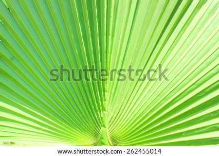 Green Leaf at sun light. Close up. Lines and textures of Green Palm leaves. - stock photo