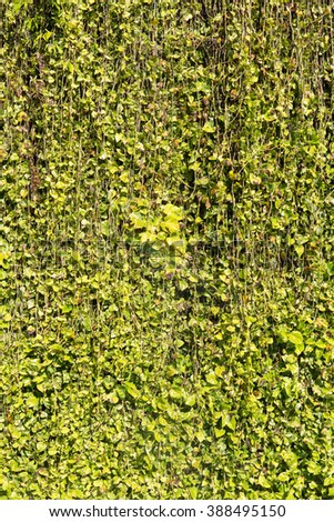 Green leaf background with vine wall - stock photo