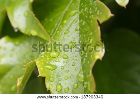 Green Leaf Droplets