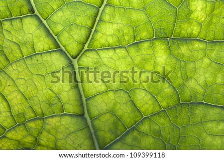 Green leaf full of chlorophyll - stock photo