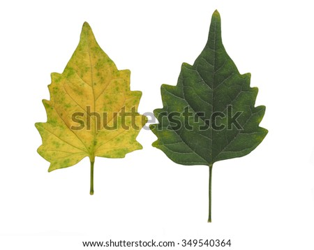 Green leaf, Green leaves, Yellow leaf, Yellow leaves isolated on white background - stock photo