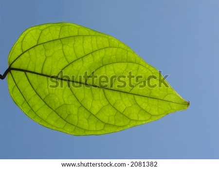 Green leaf illuminated by the sunlight
