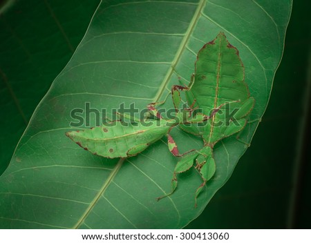 Green leaf insect - stock photo