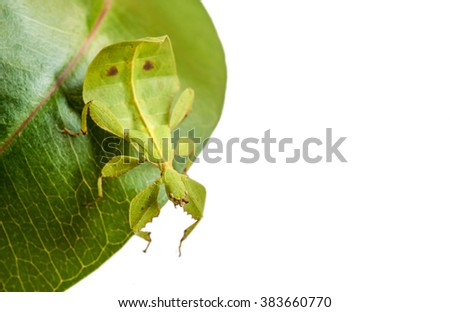 Green Leaf insect on a leaf isolated on white background. - stock photo