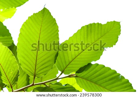 Green leaf isolated - stock photo